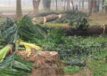 সোহরাওয়ার্দী উদ্যানে শতাধিক গাছ কাটায় সমালোচনার ঝড়